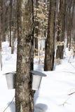 leśny klonowy wiosenne syrop sezonu Obraz Royalty Free