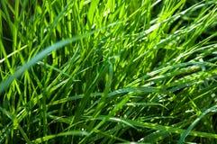 Leżanki trawy dorośnięcie Fotografia Royalty Free
