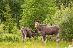 Le alci intimoriscono con il vitello Fotografia Stock