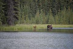 Le alci intimoriscono e vitello che si alimenta nel lago Immagine Stock Libera da Diritti