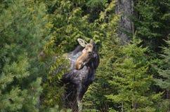 Le alci intimoriscono nel parco del Algonquin Immagine Stock Libera da Diritti