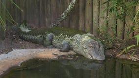 Le alghe enormi hanno coperto l'alligatore americano, America stock footage