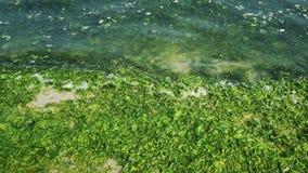 Le alghe verdi invase del litorale della spiaggia hanno coperto archivi video