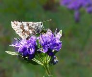 Le ali communis di Pyrgus della farfalla a quadretti del capitano hanno piegato su Caryopteris Fotografia Stock Libera da Diritti