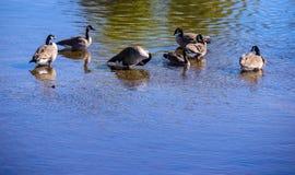 Le anatre bagnano nell'acqua Immagini Stock