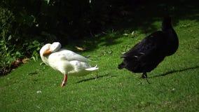 Le anatre bianche e nere su un prato inglese verde puliscono il feathe archivi video