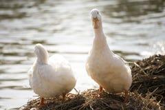 Le anatre bianche stanno accanto ad uno stagno o ad un lago con il fondo del bokeh Immagine Stock