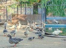 Le anatre colorate allo zoo fanno il giardinaggio, recintano, si chiudono su Fotografia Stock Libera da Diritti