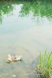 Le anatre del fiume Fotografie Stock