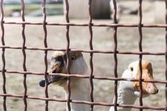 Le anatre dello zoo Immagini Stock Libere da Diritti