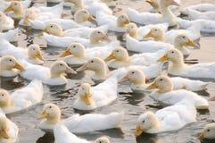 Le anatre di bianco Immagini Stock Libere da Diritti