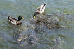 Le anatre maschii di Mallard che fanno concorrenza alla carpa pescano per alimento Immagini Stock