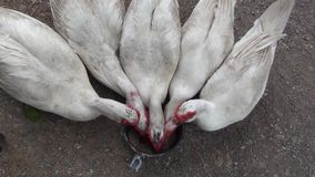 Le anatre mute mangiano il riso sbramato video d archivio
