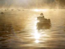 Le anatre nuotano nel fiume nella nebbia fotografie stock