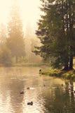 Le anatre nuotano nel lago della foresta su una mattina nebbiosa dell'estate fotografie stock