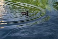 Le anatre nuotano nell'acqua allo zoo Fotografie Stock Libere da Diritti