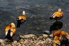 Le anatre nuotano nell'acqua allo zoo Immagini Stock Libere da Diritti