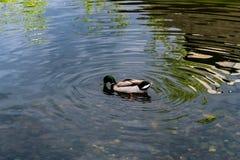 Le anatre nuotano nell'acqua allo zoo Fotografie Stock