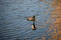 Le anatre nuotano nello stagno nel parco di autunno fotografia stock libera da diritti