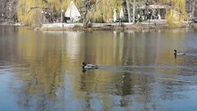 Le anatre nuotano sul lago nel parco cittadino all'inizio della primavera video d archivio