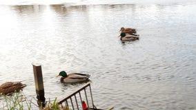 Le anatre nuotano sulla fine del lago su 4k stock footage