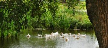 Le anatre nuotano in uno stagno nel villaggio Fotografie Stock