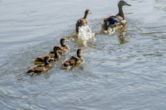 Le anatre seguono la mamma Immagine Stock