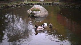 Le anatre selvatiche che nuotano allegramente nel lago innaffia un giorno soleggiato archivi video