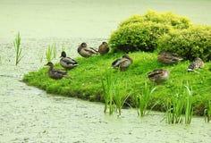 Le anatre selvatiche si avvicinano al lago Immagine Stock Libera da Diritti