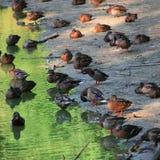 Le anatre selvatiche si avvicinano al lago Fotografia Stock