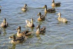 Le anatre selvatiche stanno nuotando attraverso il lago Immagini Stock Libere da Diritti