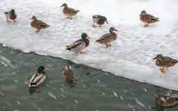 Le anatre selvatiche in una città parcheggiano nell'inverno durante le precipitazioni nevose Immagini Stock
