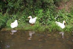 Le anatre stanno nuotando nello stagno Immagini Stock
