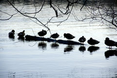 Anatre nel lago verde Immagine Stock
