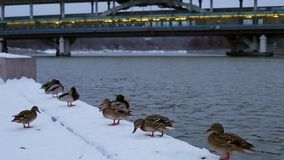 Le anatre su un inverno passeggiano vicino al ponte stock footage