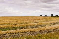 Le andane di canola potano l'essiccazione su un campo in Saskatchewan, Canad Fotografia Stock