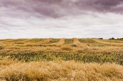 Le andane di canola potano l'essiccazione su un campo in Saskatchewan, Canad Fotografie Stock