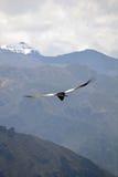 Le Ande, condor Fotografia Stock Libera da Diritti