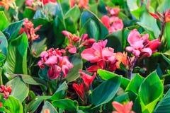 Le angiosperme fresche di nerium oleander dell'oleandro con i bei fiori sboccianti rosa, sul fondo verde del giardino, sono più immagine stock libera da diritti