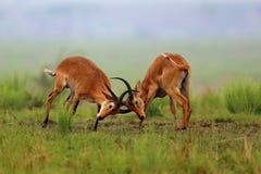 Le antilopi di Kobe sta combattendo sul pascolo africano Fotografie Stock Libere da Diritti