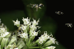 Le api che volano, fermano l'azione, Fotografie Stock
