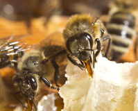 Le api convertono il nettare in miele immagine stock libera da diritti
