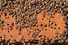 Le api cova, lavorando le larve dell'ape riscaldate sul favo Fotografia Stock