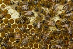 Le api del favo versano il nettare è convertita in miele Fotografia Stock