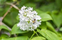 Le api del miele sulle gambe, l'ape raccoglie il miele da un lillà Fotografie Stock Libere da Diritti