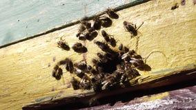 Le api funzionano il nettare del fiore di processo della mosca in miele stock footage