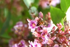 Le api gialle del miele hanno grandi teste con le linee nere sulle loro parti posteriori immagini stock libere da diritti