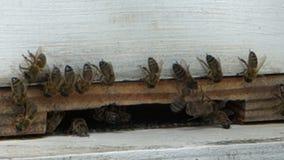 Le api hanno ragruppato all'entrata ad un alveare nei Caraibi video d archivio