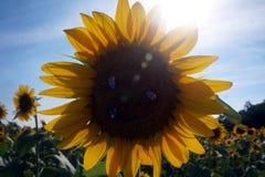 Le api impollinano un girasole Fotografia Stock Libera da Diritti