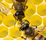 Le api prendono il nettare dal favo per trasformarla in miele fotografie stock libere da diritti